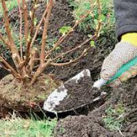 Посадка, выращивание и уход за красной смородиной в открытом грунте