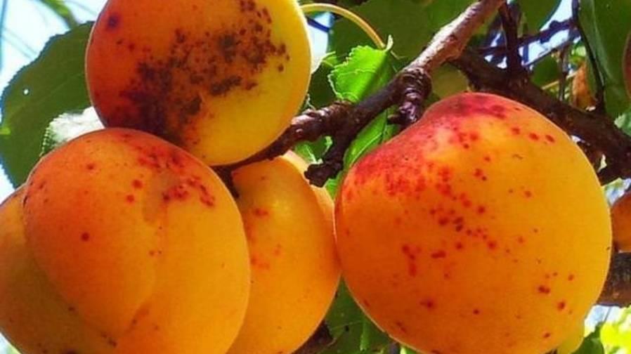 Обзор болезней и вредителей персика