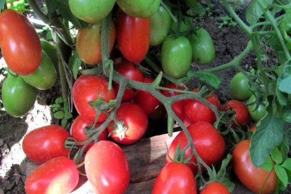 Описание ультраскороспелых сортов томатов для открытого грунта