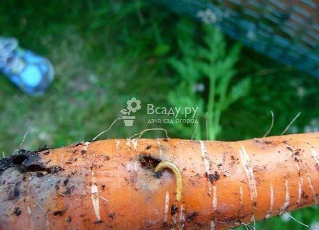 Болезни и вредители моркови: как распознать и бороться