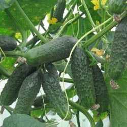 Стабильно урожайный и проверенный временем огурец «теща»