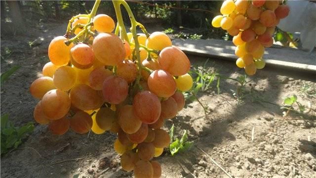 Уникальный розовый сорт винограда анжелика: описание, характеристики, тонкости выращивания