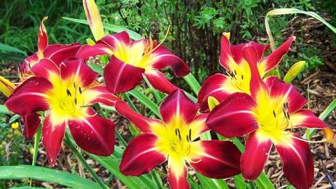 30 сортов и видов лилейников цветущих все лето с описанием и характеристиками