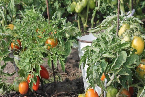 Описание сорта томата гс-12 f1, его характеристика и урожайность