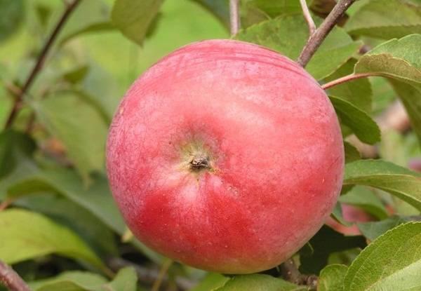 Обзор сорта белорусская сладкая яблоня, его преимущества и недостатки
