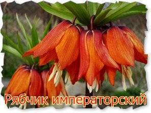 Фритиллярия: посадка, уход, сорта и секреты пышного цветения