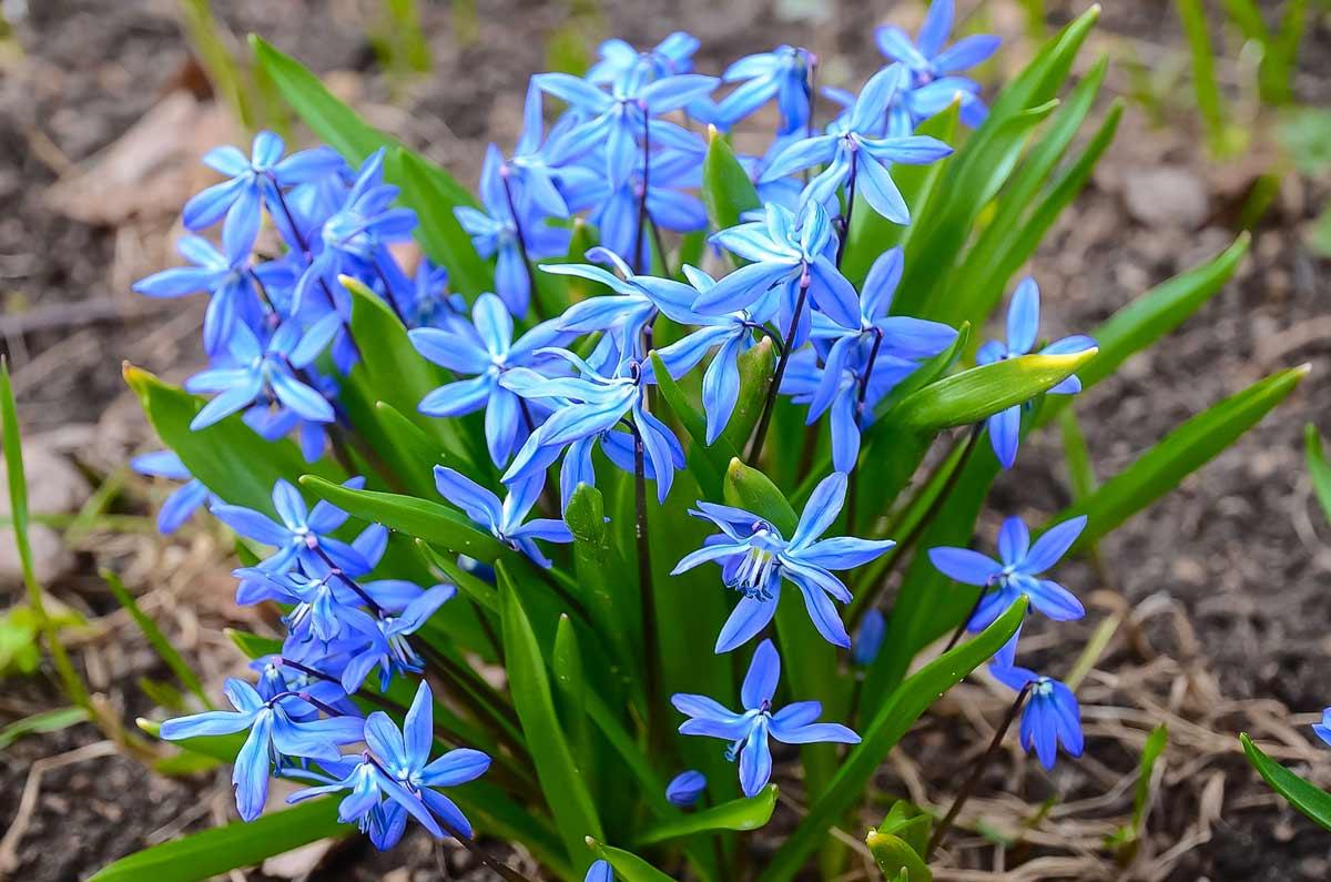 Цветок «сцилла»: описание, фото, посадка и уход