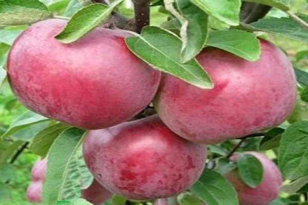 Характеристики и описание сорта яблонь Память Коваленко, плюсы и минусы