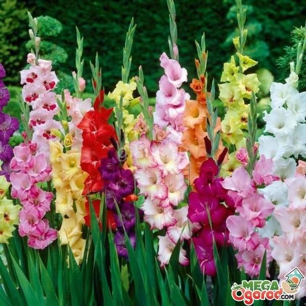Описания и характеристики разновидностей гладиолусов, названия лучших сортов