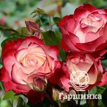 Изящная роза мона лиза — вся информация о цветке