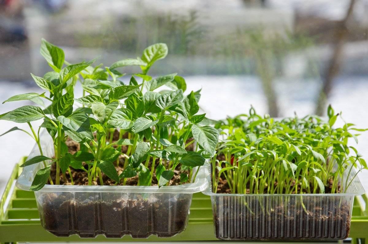 Как настоять удобрение золу и подкормить рассаду помидоров дома?