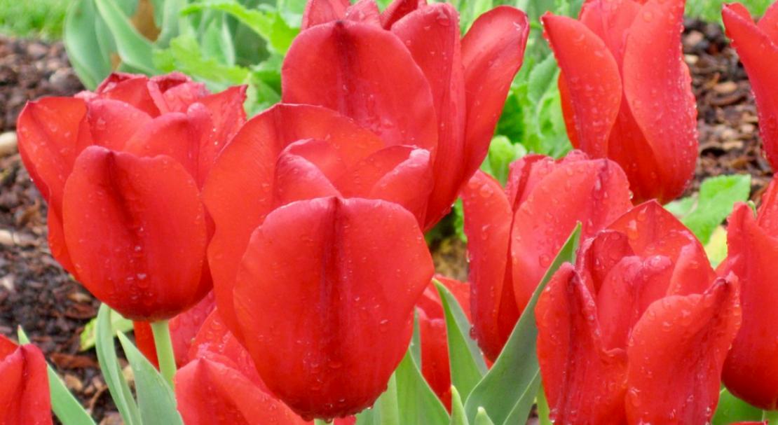 Тюльпаны фостера: описание растения и правила выращивания