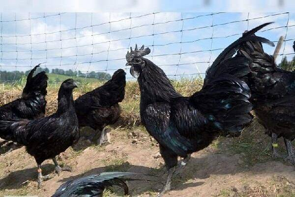 Аям цемани — описание и способы содержания декоративной породы кур