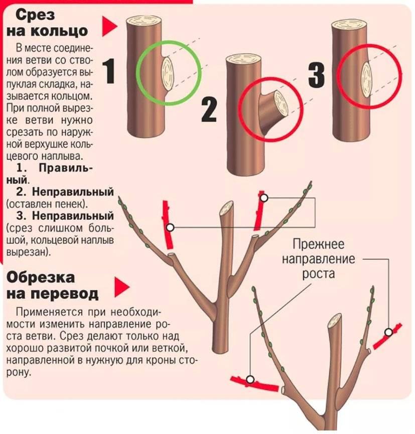 Чем подкармливать вишню и черешню: схемы подкормок с весны до осени