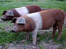 Описание и особенности свиней датской протестной породы, история разведения