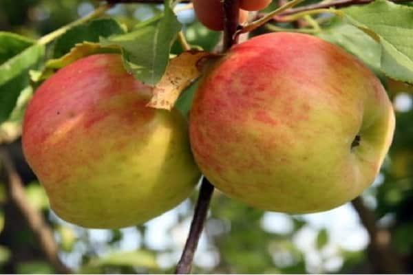 Характеристика и описание сорта яблок Топаз, выращивание и урожайность