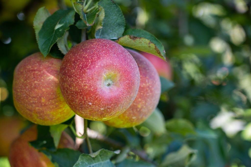 Хотите зимой иметь яблочный урожай — посадите северный синап