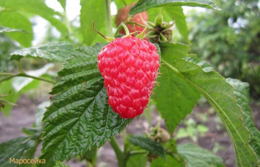 Описание и характеристики сорта малины Маросейка, выращивание и уход