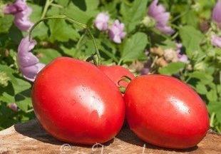 Описание сорта томата Славянин, особенности выращивания и ухода