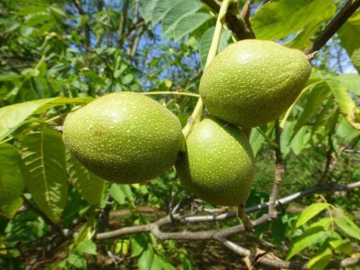 Агротехника выращивания и уход за грецким орехом