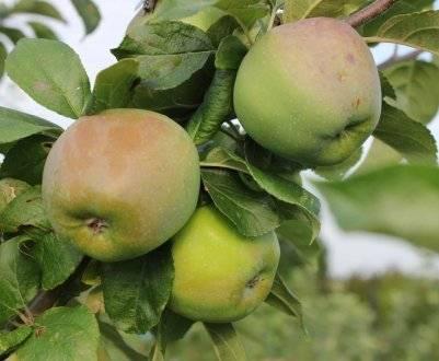 Имунная к парше яблоня имант