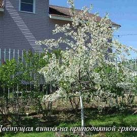 Расстояние между яблонями при посадке
