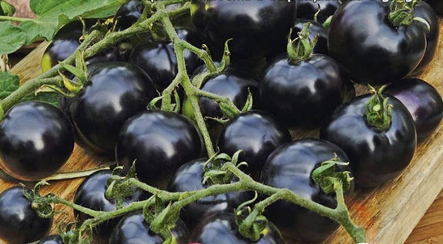 Урожайные помидоры сибирское чудо – особенности выращивания