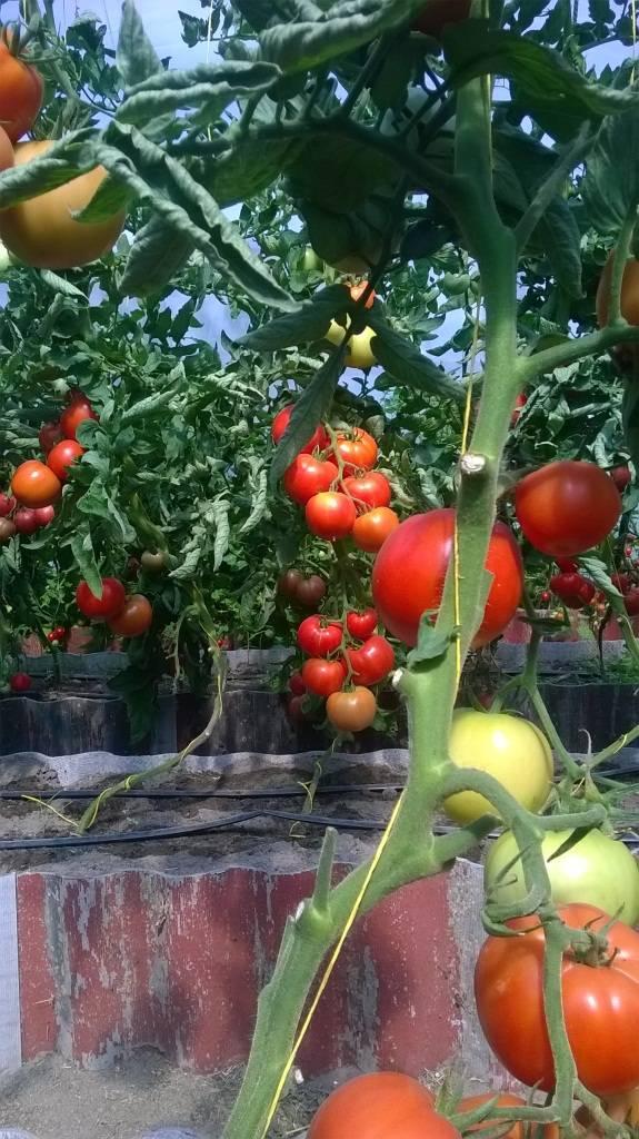 медалью томаты ромус отзывы и фото про создание