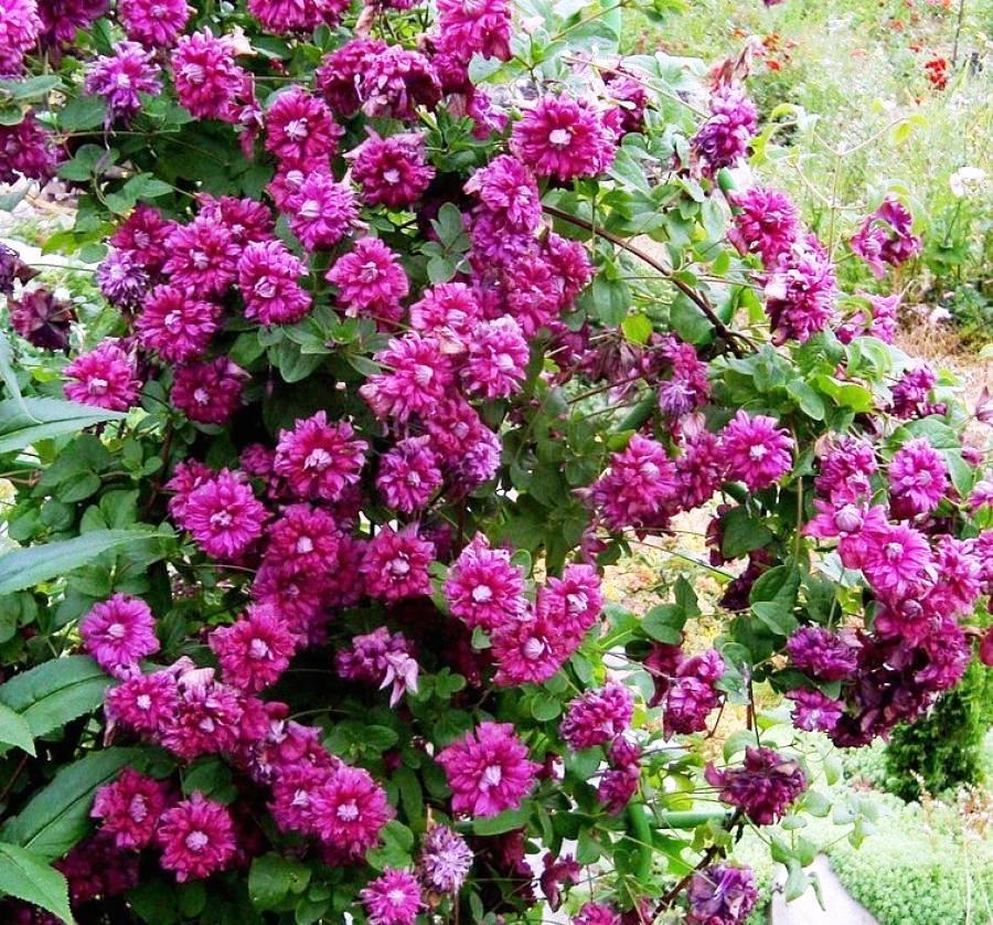 Клематисы «пурпуреа плена элеганс»: описание, рекомендации по выращиванию и разведению
