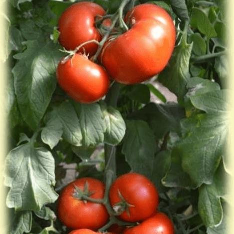 Характеристика и описание сорта помидоров сильвестр f1, их урожайность