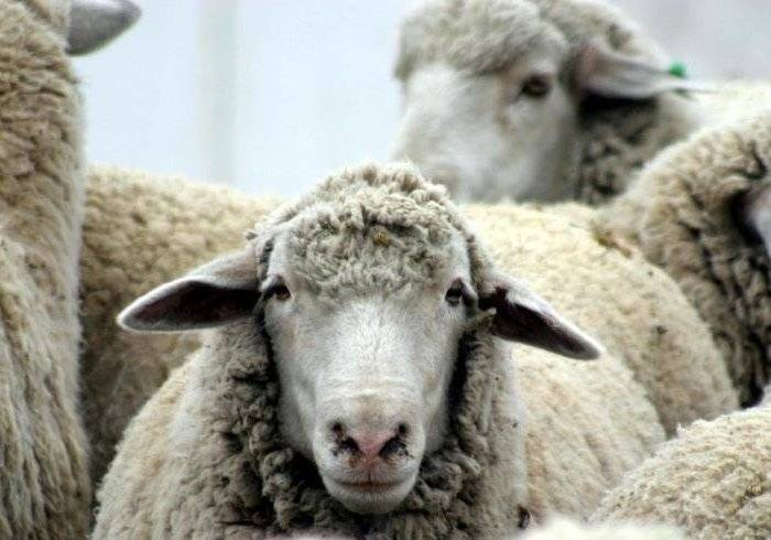 Эстроз овец: лечение, симптомы, профилактика