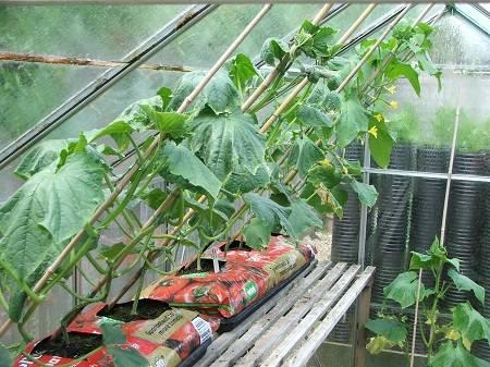 Выращивание огурцов в теплице, подвязка, полив, обработка