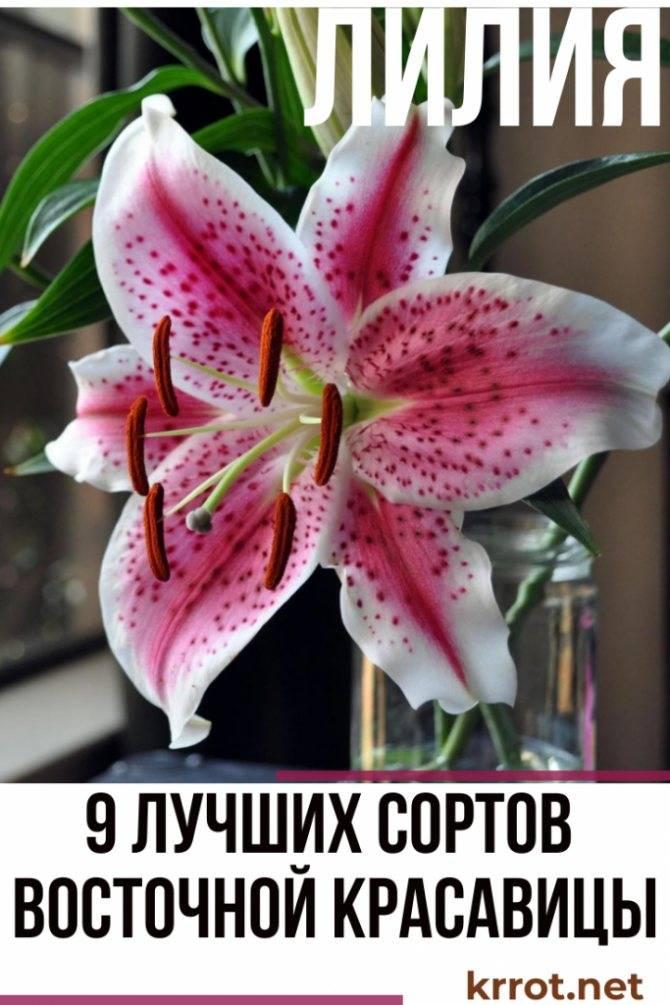 Лилии: посадка и уход в открытом грунте, особенности выращивания, фото