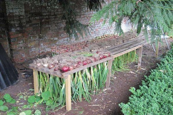 Лучшее для лука — правильно сушим после уборки и тщательно готовим к долгому зимнему хранению выкопанный урожай