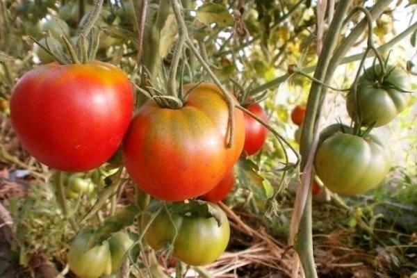 Томат космонавт волков: описание сорта, особенности выращивания