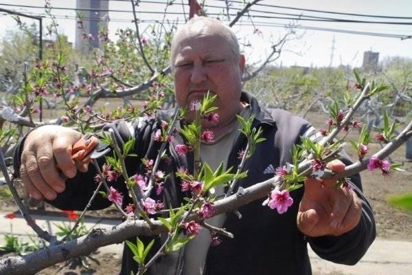 Как, когда и чем обрезают персиковое дерево?
