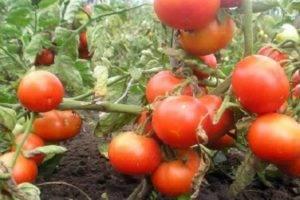 Описание и характеристика сорта томата капия розовая