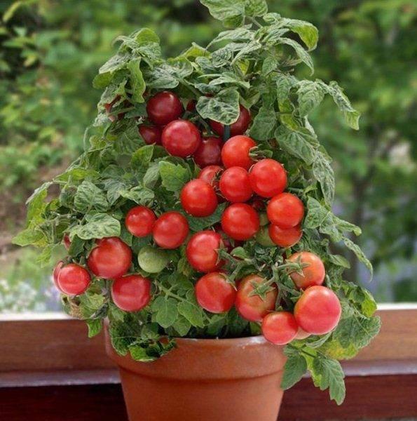Описание томата капия розовая