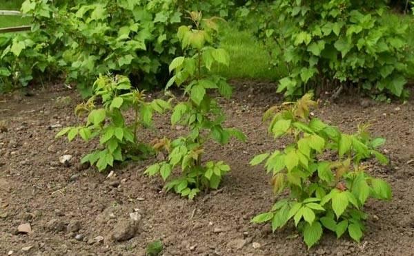 Агротехника выращивания малины