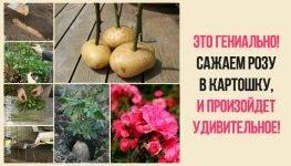 Технология выращивания роз в домашних условиях путем укоренения черенков в картошке