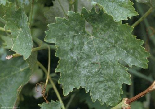 Опрыскивание винограда раствором йода