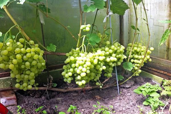 Виноград алёшенькин – почти на каждом участке!
