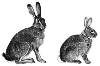 Чем отличается заяц от кролика: экстерьер, поведение, образ жизни