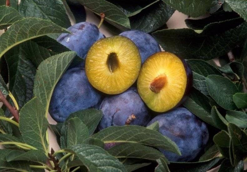 Маринованные сливы на зиму золотые рецепты с чесноком с помидорами закусочная без стерилизации как «оливки»