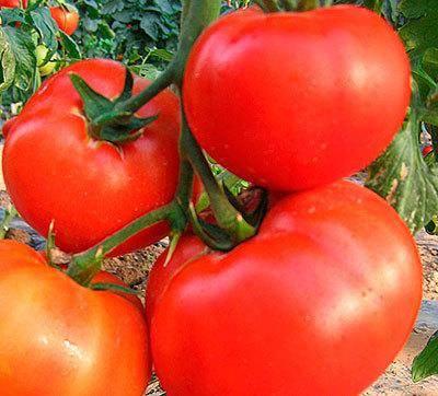 Общее описание и характеристики тепличного томата сахарок