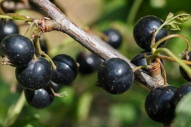 Описание и характеристики сортов зеленой смородины, выращивание и уход