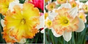 Нарцисс пинк шарм: описание и характеристики сорта, посадка и уход, отзывы с фото