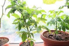 Выращивание и уход за многолетними помидорами на подоконнике и в огороде