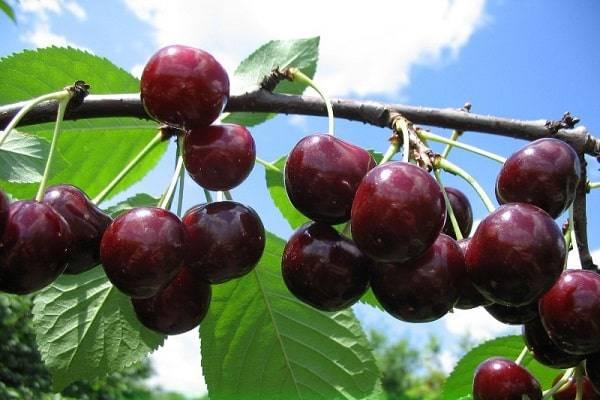 Характеристики сорта вишни саратовской селекции расплетка, преимущества и недостатки