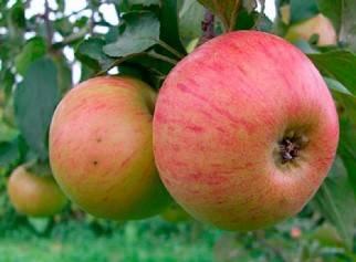 Яблоня июльское черненко: описание и характеристики сорта, выращивание и уход